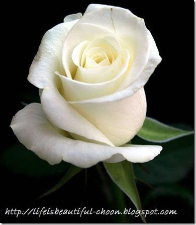 White rose garden vote0 comment0 mightylinksfo